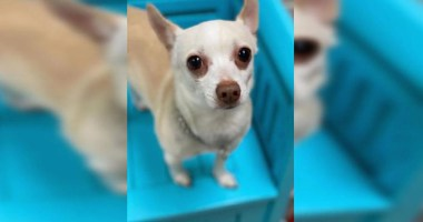 Lost and Found Chihuahua