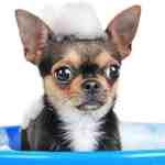 Chihuahua bathing