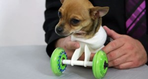 Turbo and his wheelchair