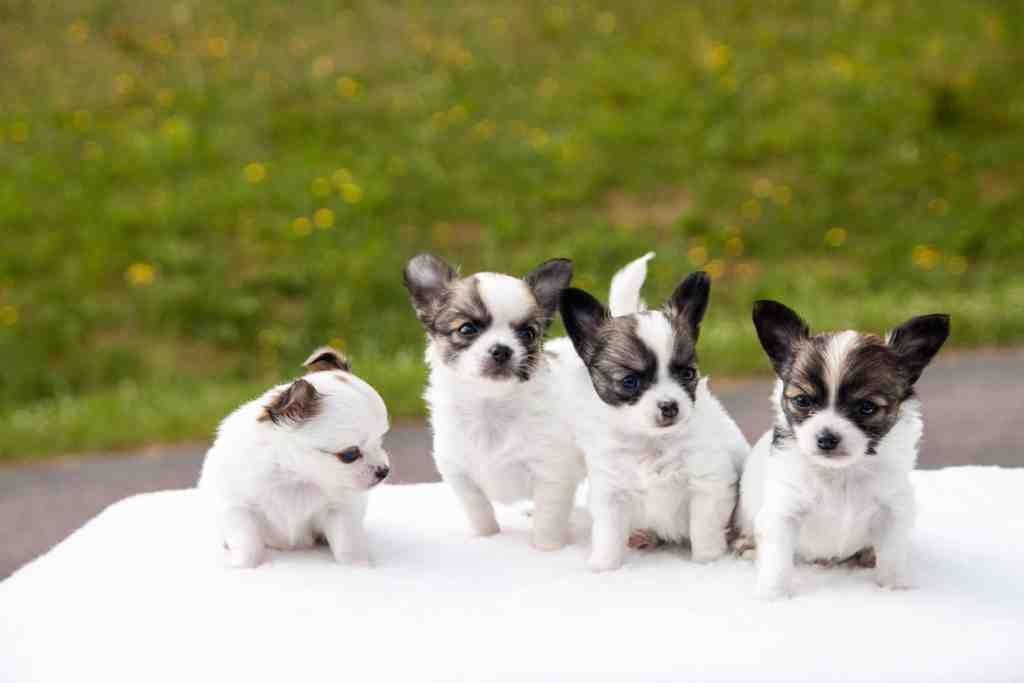 Choosing a Chihuahua Puppy