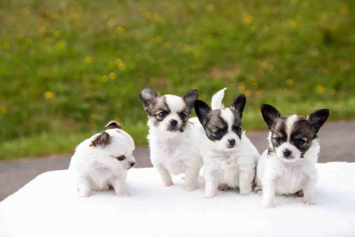 Choosing a Chihuahua Puppy