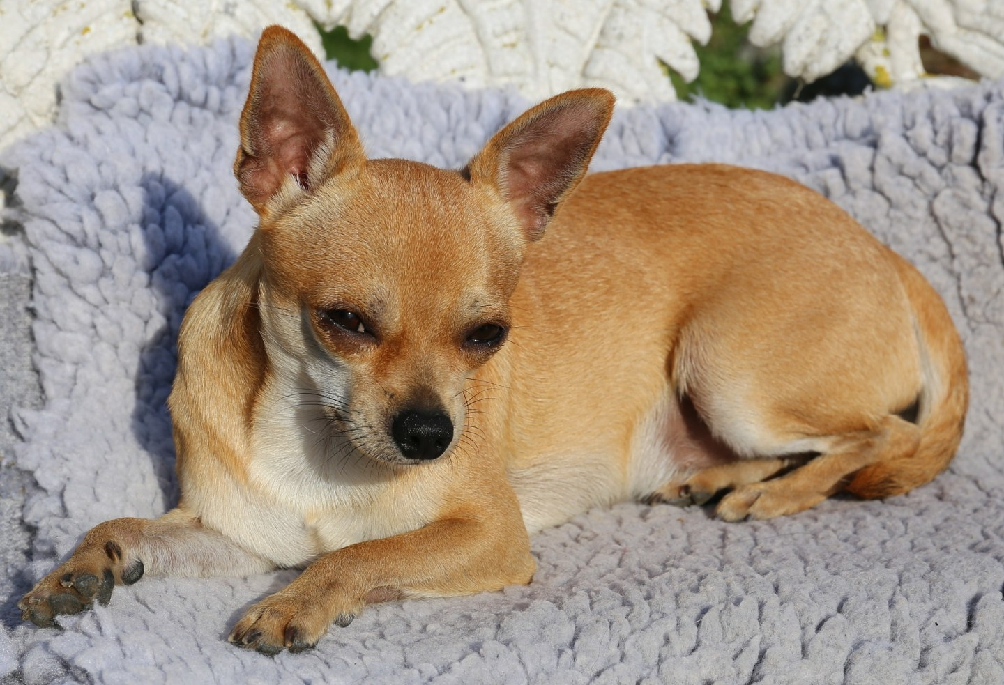 Your senior chihuahua : happy & healthy
