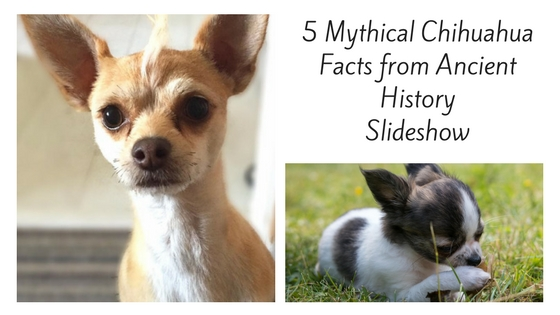 5 Mythical Chihuahua Facts from Ancient History