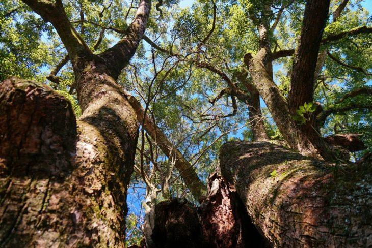 福岡県八女市黒木町湯辺田95 釜屋神社の楠 樹齢約六百年 天然記念物