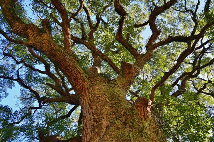 福岡県大牟田市鳥塚町 鳥塚公園 クスノキを見上げる 大木