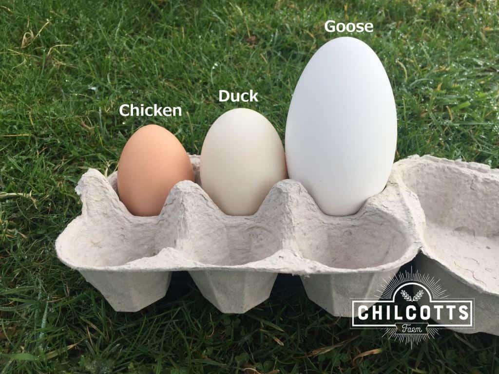 Goose Eggs For Sale Chilcotts Farm