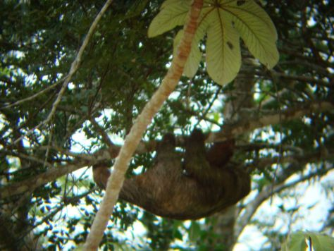 Sloth, Cano Negro wildlife Tour, Costa Rica