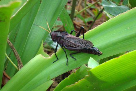 Giant locust, Costa Rica