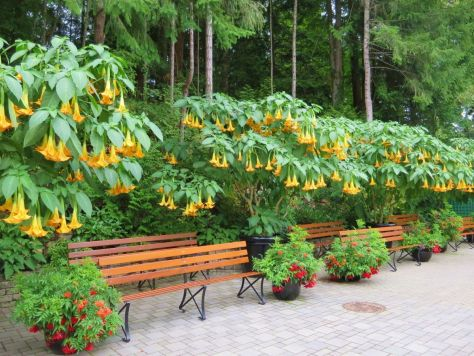 Angels Trumpets The Butchart Gardens Victoria BC