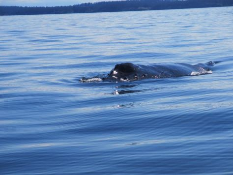 whale-watching-in-the-san-juan-islands 072