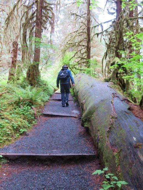 Giant fallen Sitka Spruce on the Hall of Mosses Trail