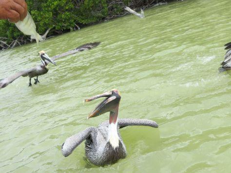 Pelicans, Rio Lagartos