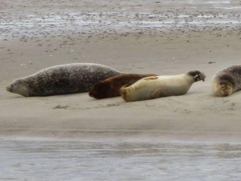Fanø seals