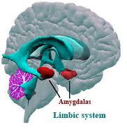 location of the amygdala