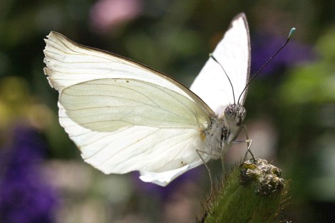 butterfly_white_nature