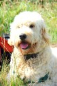 Izzy the goldendoodle