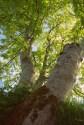 Ash trees in Ticknock