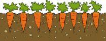 The Carrot Garden
