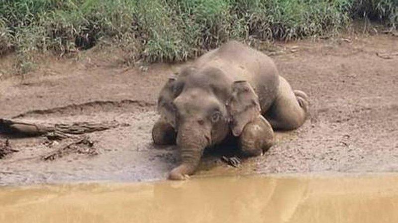 MALDAD! Elefante pigmeo es hallado con 70 DISPAROS y sin sus colmillos