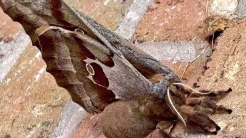 «TARÁNTULA CON ALAS»: El extraño insecto que preocupa en Norteamérica