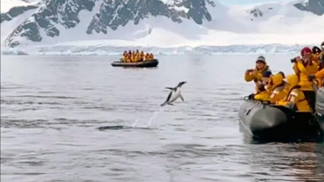 Pingüino SALVÓ SU VIDA saltando a bote de TURISTAS tras ser acosada por ORCAS