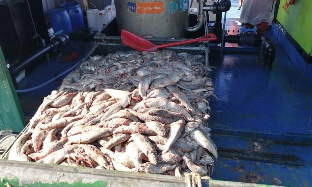ALERTA!! Barco con TONELADAS de salmones MUERTOS llegan a Talcahuano para ser PROCESADOS