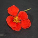 Kapuzinerkresse Blüte