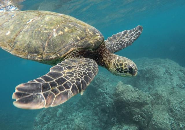 Visiting Hawaii with children a photo of a turtle swimming underwater