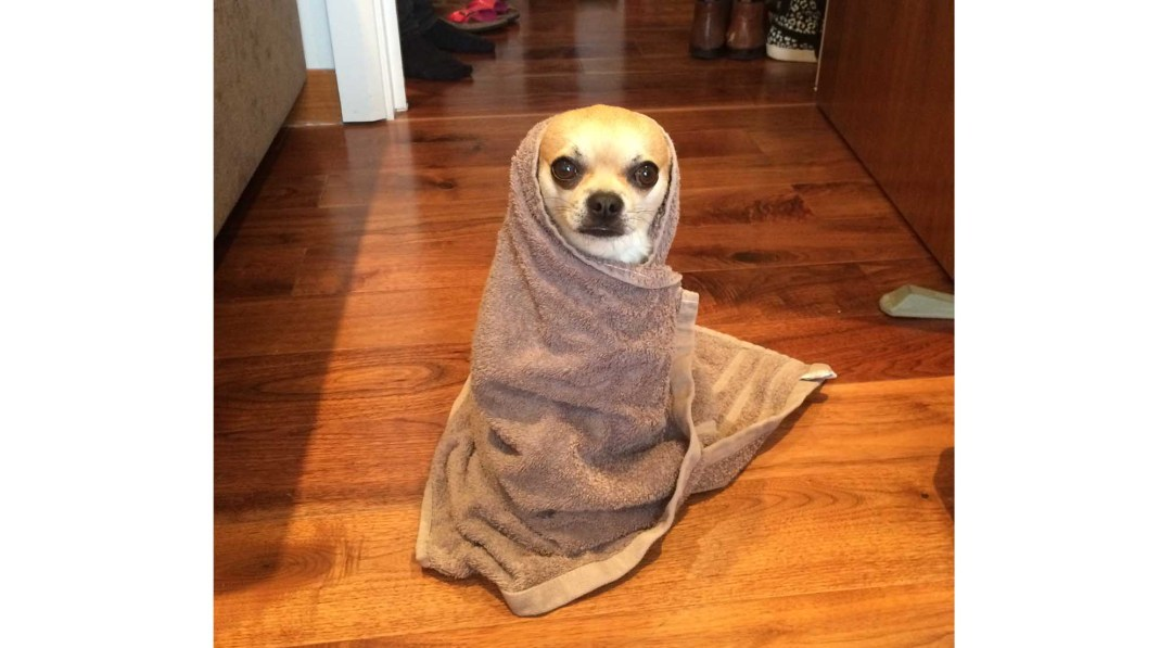 Chilliwawa cute Chihuahuas wrapped in a towel