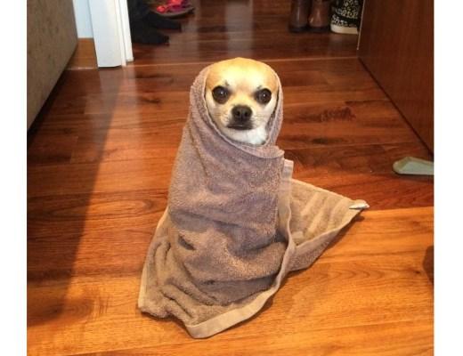 Chilliwawa cute Chihuahuas wrapped in a towel
