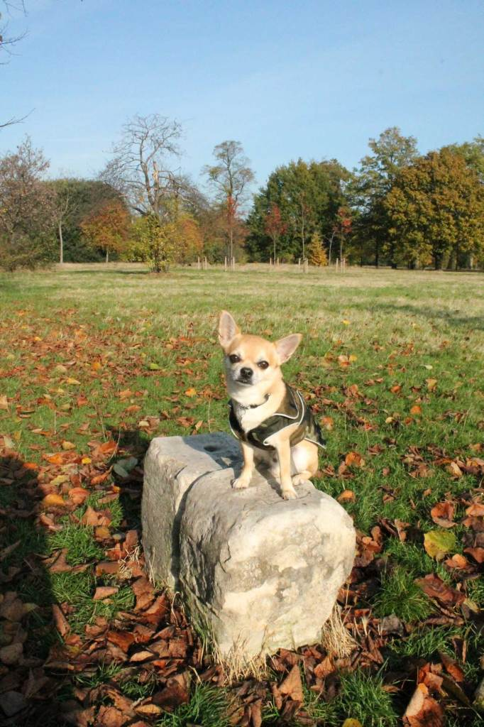 Chiwawa sitting on rock