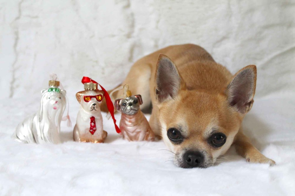 Chilli with John Lewis dog christmas decorations