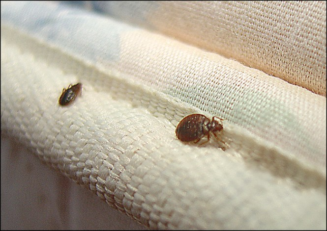 Unng Bed Bugs
