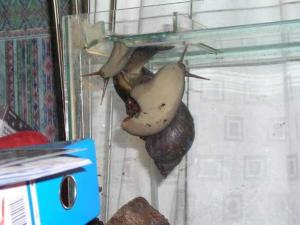 Great African Land Snails