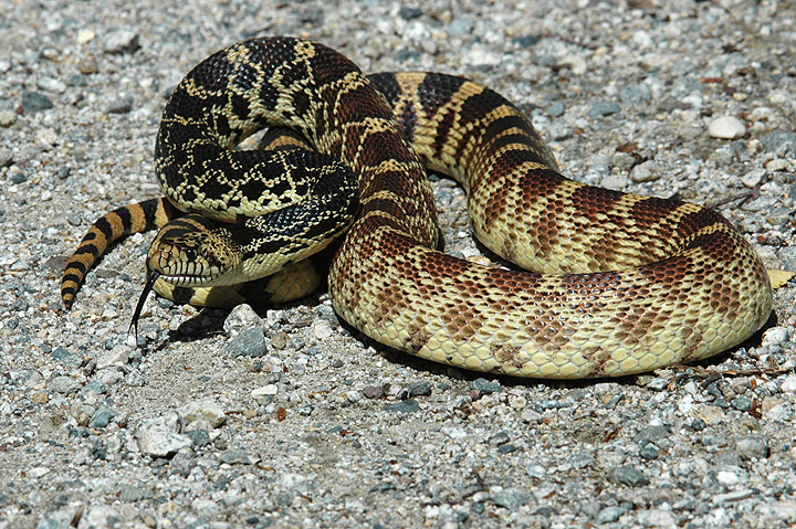 Snake Removal Denver  Snake Removal From Your Home  Colorado