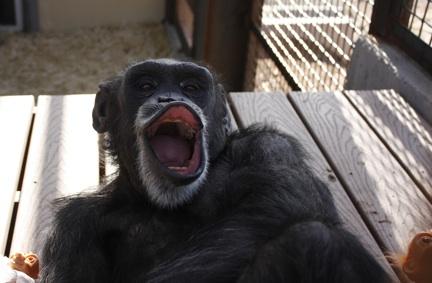 Foxie yawning 2