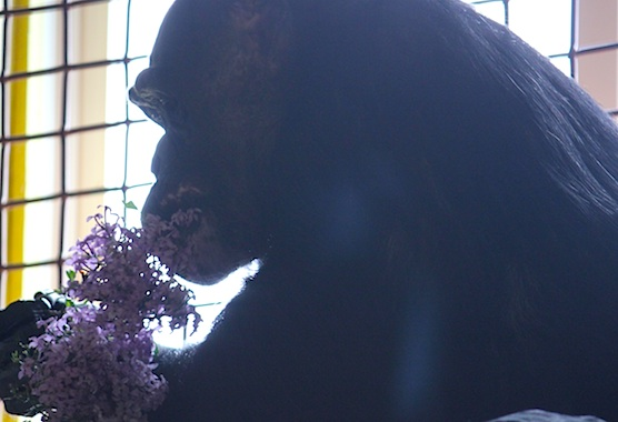 Negra eating lilacs
