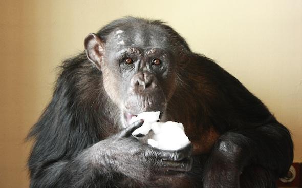 Negra eating snow