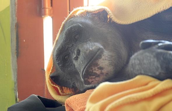 Negra under orange blanket