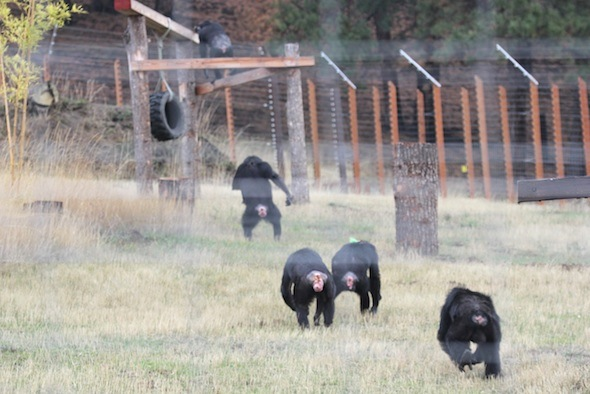 troop of chimps on young's hill