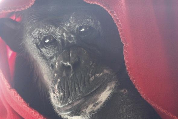 negra under red blanket close up