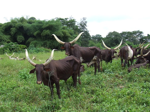 6 cattle road to buta