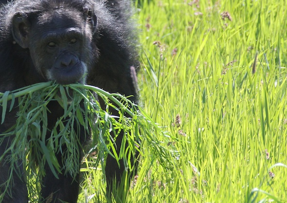 web Jody walk green grass plants in mouth YH (ek) IMG_8998