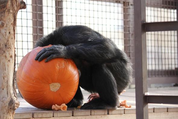 web_Foxie_head_in_pumpkin_birthday_halloween_party_GH_ek_IMG_5759