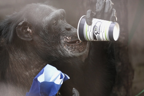 Jamie Chimpanzee drinking from a Seahawks cup