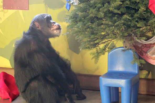 Burrito chimpanzee gazing at tree