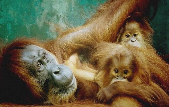 OrangutanOutreach-SOCP-gober