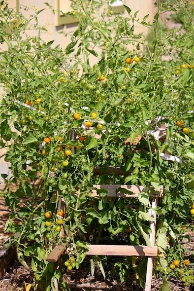 Tomatoe plant in garden