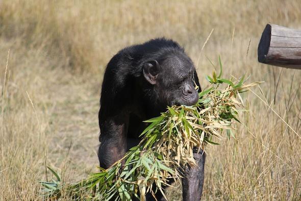 web_Jody_walk_harvest_bamboo_in_mouth_YH_ek_IMG_4866