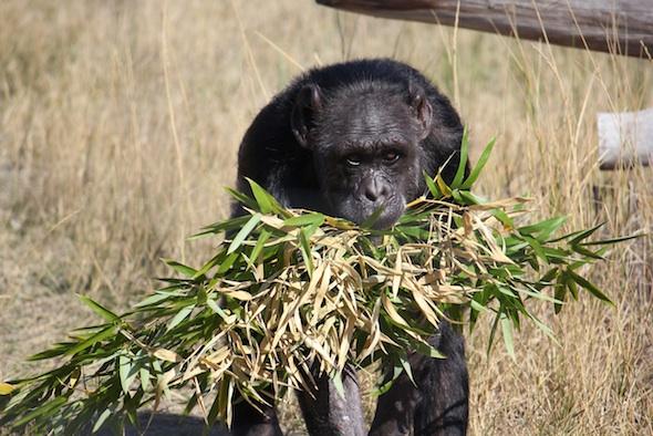 web_Jody_walk_harvest_bamboo_in_mouth_YH_ek_IMG_4867